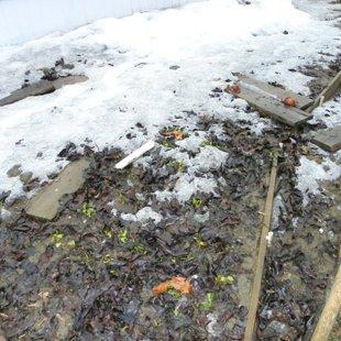 Щавель многолетний перезимовал под снегом.